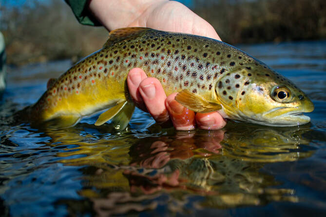 Guided trout fly fishing in PA